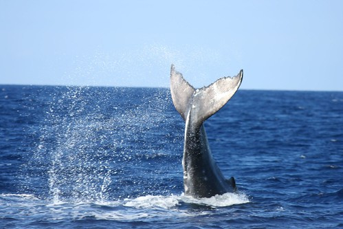Humpback Whale by Big Blue Ocean via Flickr