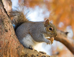 Eastern Grey Squirrel in St James's Park, London