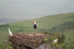 DSC_0278.JPG (tenguins) Tags: africa bird ruins nest arabic morocco berber perch stork rabat chelle siteseeing chella romanruins