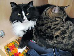 Closet Kitties! (veganmichele) Tags: pet nature animals cat kitten tabby kitty tuxedo strip spca rescued feral efa mvegan5