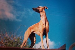 Cora (Dada Mar) Tags: dog film beautiful d bluesky whippet dada sighthound cora galgo chrt majesticpose itookthephotoofaphotoonfilm