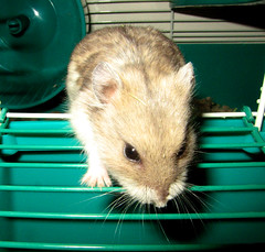 Grace (Julian Rossi) Tags: hamster russian campbells hamsters