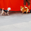 ♥ Do you believe in love at first sight ? (AraiGodai) Tags: interesting explore poodle pomeranian loveatfirstsight toydoggy araigordai raigordai araigodai