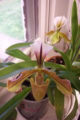 Paph. Lathamianum (spicerianum x villosum) (dwittkower) Tags: orchid flower flora orchids orchidaceae paph slipper orquideas ladyslipper paphiopedilum orchidée ladysslipper slipperorchid orqudea