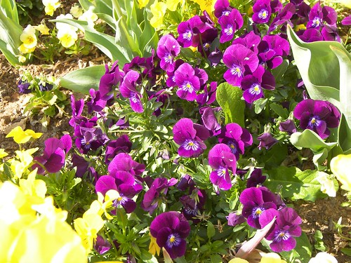 Pansies and Violas 005