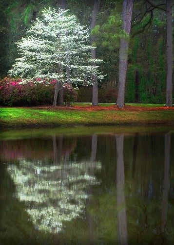 Dogwood In Bloom by pearson251