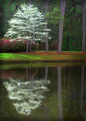 Dogwood In Bloom (pearson_251) Tags: light flower reflection tree nature water beautiful landscape spring pond woods colorful blossom carolina bloom azalea dogwood hhi hiltonheadisland firstquality impressedbeauty