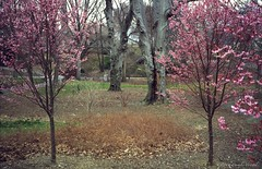Pink on Film (CVerwaal) Tags: nyc newyorkcity pink newyork analog cherry centralpark blossoms ishootfilm oldschool
