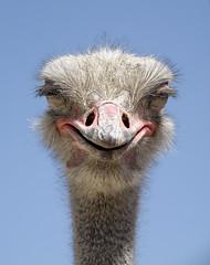 Evil Ostrich?