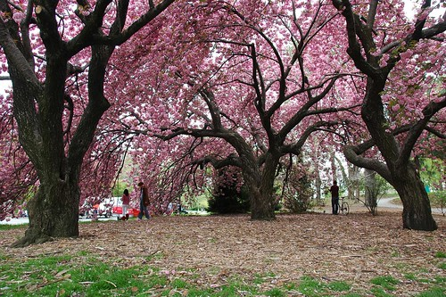 Kanzan Cherries, Prospect Park, Grand Army Plaza