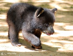 Wandering (NateFischPix) Tags: bear nature cub nikon infant nathan wildlife wandering blackbear fischer bearcub smrgsbord blackbearcub d40x goldstaraward nathanfischer natefish3000 natefisch natefischpix