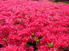 Azalea / Rhododendron / () (TANAKA Juuyoh ()) Tags: pink red flower hires rhododendron resolution hi azalea  res g7