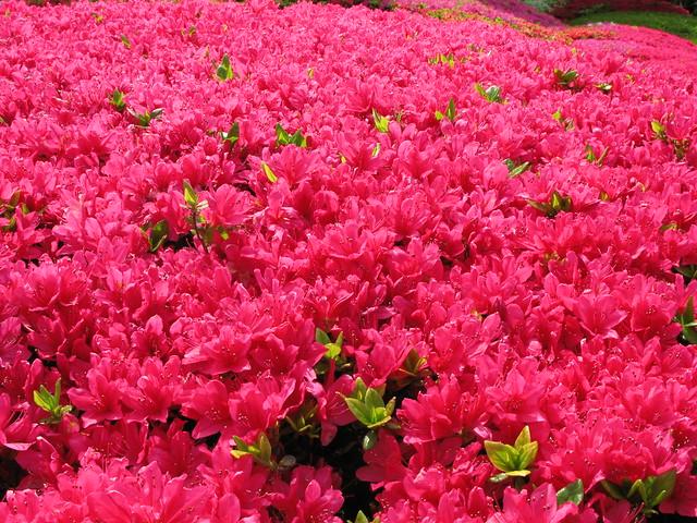Azalea / Rhododendron / 躑躅(つつじ)
