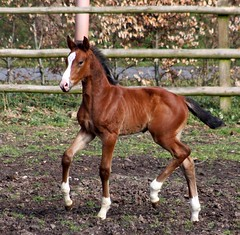 Contendro - colt Caprice (neulands) Tags: horses germany cheval elite breeding pferde colt stud caprice hengst fohlen zucht contendro oldenburger neulandstud neulandcaprice