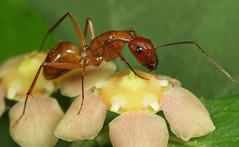 Ant and Hearts-a-Bustin' flower by cotinis, on Flickr