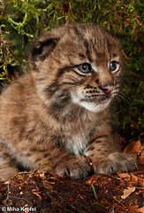 wanna play with me? (mk_lynx) Tags: wild cats mountains animals wildlife large kittens slovenia cubs mammals eurasian lynx carnivores dinaric