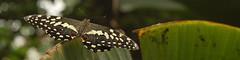 Butterfly (historyanorak) Tags: animals geotagged butterflies jungle rutland upclose bookmark bookmarkcrop rutlandwaterbutterflyfarm notleicestershire geo:lat=52665335 geo:lon=0615546