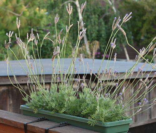 Lavender plants: Still alive!