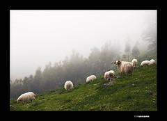 El Pastor (Chamicu) Tags: animal asturias bosque animales macho cuernos niebla oveja asturies ovejas rebao carnero chamicu borrina biesca