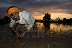 Indian Farmer Transplanting Rice Seedlings at Sunset (Captain Suresh Sharma) Tags: india water asia rice horizon agrarian working wideangle flashphotography crop farmer turban agriculture punjab ricefield hardwork conventional irrigation chandigarh paddyfield headgear bihar manualwork haryana fillinflash panchkula bihari riceseedlings panjab oldmethod captsureshsharma traditionalagriculture indianlabourer sunsetoverfields biharilabourer indianlaborer manualagriculturallabour onthejoblabourer expressiononface fillinflashphotography wideangleimage wideanglecomposition