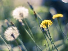 (Meredith_Farmer) Tags: light summer nature outside outdoors dof bokeh availablelight naturallight organic manualfocus 50mmf18 naturallighting nikon50mmf18 nikond40