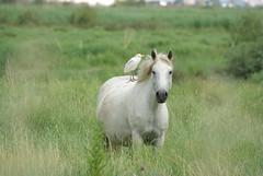 Le cheval est le meilleur ami de... (fabdebaz) Tags: cheval distillery 34 camargue aficionados sungame k10d pentaxk10d justpentax collectionnerlevivantautrement vosplusbellesphotos juillet2008