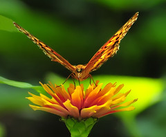 Feeding (ozoni11) Tags: flowers plants plant flower nature gardens butterfly garden insect interestingness nikon blossom bokeh blossoms butterflies insects explore bloom blooms 53 columbiamaryland d300 interestingness53 i500 michaeloberman ozoni11 explore53
