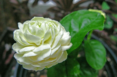 Grand Duke Jasmine Flower