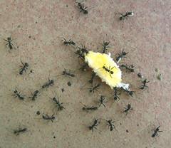EL GRAN FESTIN (VRNU) Tags: hormigas musictomyeyes vrnu misfavoritosinvitacin mascotasanimales andromeda50 score1to20 giveme5awardthenext5pictures