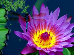 Blue DragonFly on a Neon Flower (dlco4) Tags: flower closeup pond lily dragonfly soe fantasticflower shieldofexcellence colorphotoaward purpleandyellowflower macroaward macromarvels goldstaraward excapturemacro ilovemypics naturespotofgold colorsinourworld bluedragonflower magnificentmacros
