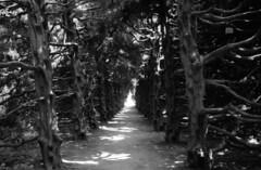 Tree-shaded avenue (Snap Shooter jp) Tags: leica bw tree film monochrome japan rangefinder avenue m4 kawasaki leicasummaron35mmf35