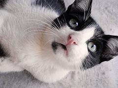 Mini (Bruna_Wretzky) Tags: white black cute branco cat tabby mini preto gato gata fofo fofa vaquinha cowcat