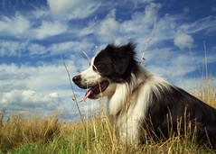 A Beautiful Sky (meg price) Tags: summer sky dog clouds collie border bordercollie barney golddragon impressedbeauty diamondclassphotographer flickrdiamond goldstaraward vosplusbellesphotos lesamisdupetitprince