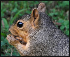 did you say peanuts? (Savonna) Tags: park rodent squirrel pittsburgh pennsylvania critter whiskers pa northshore northpark ysplix fujis1000fd