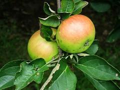 Prairie Grove apples-2