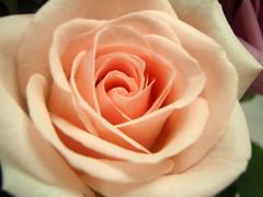 Island Rose - Calima