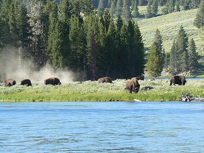 bisons yellowstone 1.jpg