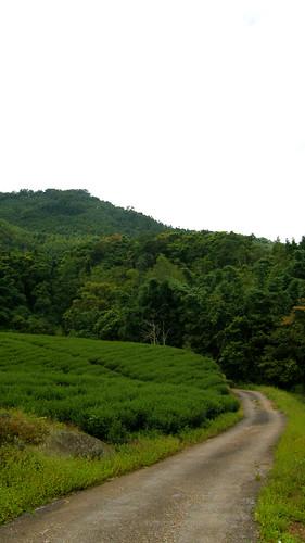 39.滿滿的茶樹