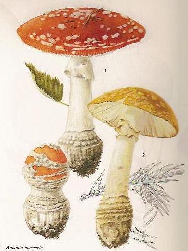 Amanita muscaria dibujo