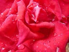 wet_rose
