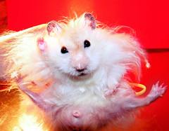 Piórko total weirdo :) (pyza*) Tags: pet cute animal rodent critter hamster piórko chmurka chomik hammei
