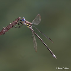 Great Spreadwing (Archilestes grandis) (Odephoto) Tags: dc nationalzoo damselfly odonata zygoptera archilestesgrandis archilestes greatspreadwing