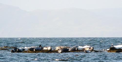 Seals (Seamill shore)