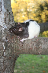 Tree rat Sam
