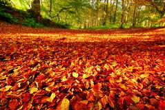 Autumn Leaves at Dunkeld (Semi-detached) Tags: autumn trees fall leaves landscape one scotland oak nikon contest perthshire sigma falling dunkeld 1020mm 1020 autumnal beech aubern aplusphoto d40x photoweekly