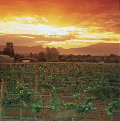 Sunrise in Colorado Wine Country in Grand Junction (Grand Junction Visitor & Convention Bureau) Tags: mountains sunrise colorado wine country scenic grand junction vineyards grapes grandjunction vcb