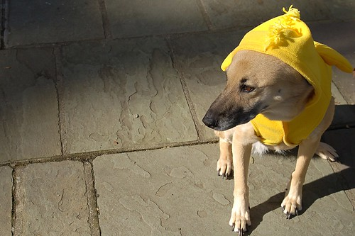 Good grief, Charlie Brown! A dog dressed like a bird!