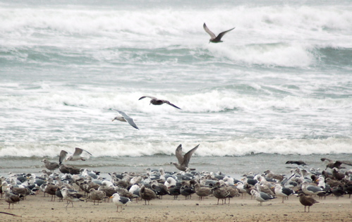 beach_gulls_crowd_flying_waves_500x315_enhanced