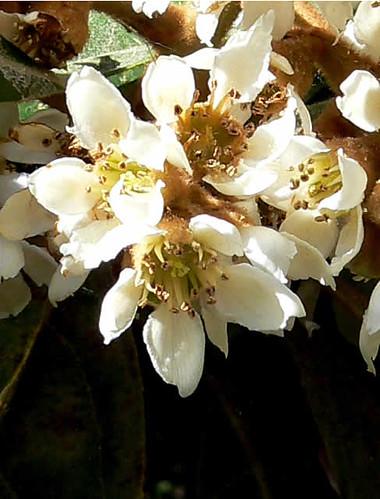 flor del níspero