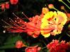 Flamboyanzinho litlle-flamboyant (Caesalpinia Pulcherrima). Sao Paulo Brasil.  A Central-America native arbustive-tree (mauroguanandi) Tags: leguminosae caesalpinia caesalpiniapulcherrima flamboyanzinho anawesomeshot colorphotoaward caesalpinoideae mimamor mimamorflores thecelebrationoflife litlleflamboyant elswowdelmacro